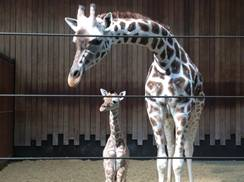 Image for Photos: Baby Giraffe at Milwaukee County Zoo
