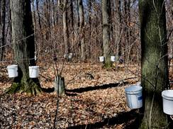 Image for A Walk in the Sugar Bush