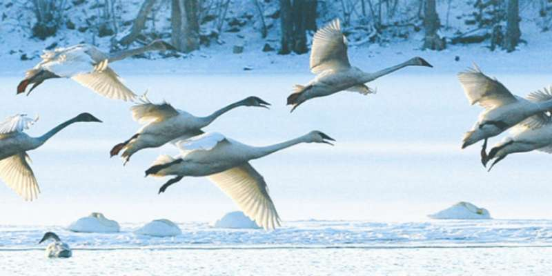 A flock of swans fly above the frozen snow covered waters.
