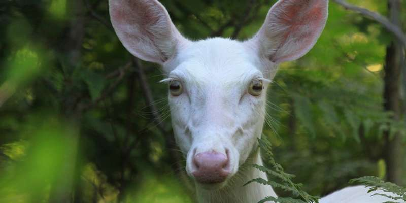 An albino deer is spotted in the nearby woods.