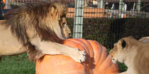 Lions having fun at the Zoo Boo.