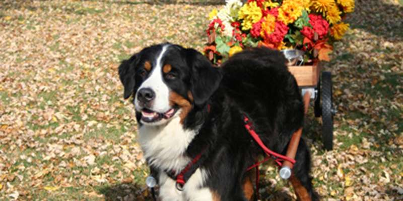 Swiss Bernese Mountain Dog.