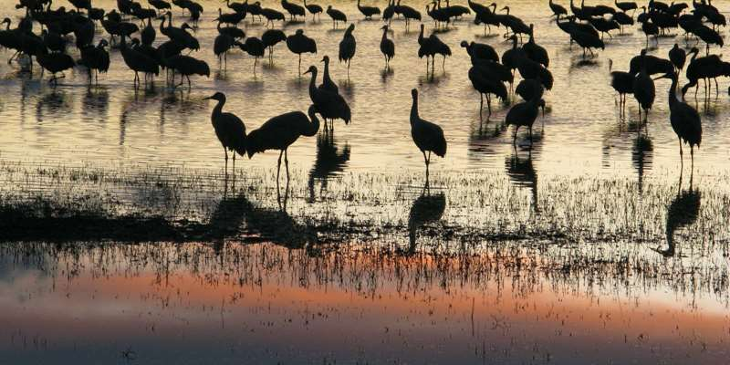 Sandhill Cranes at Crex Meadows Wildlife Area
