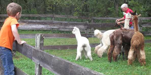 Visit some of the barnyard animals, like Alpacas!