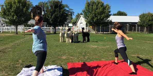 Yoga in a clean pasture with friendly and curious alpacas.