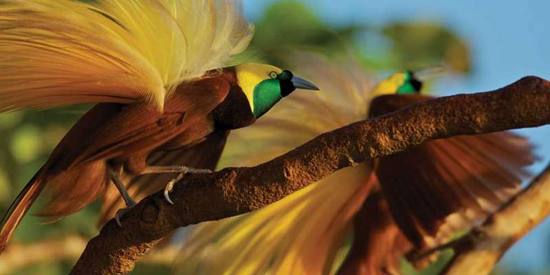 Birds of Paradise: Bizarre, Extreme, Extraordinary
