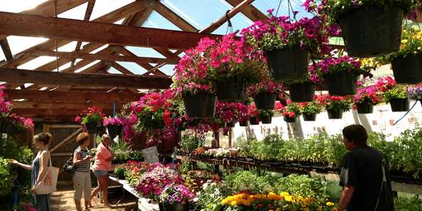 Hauser's Superior View Red Bard Plant Sale