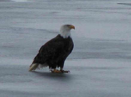 Image for Alma Eagles On Ice