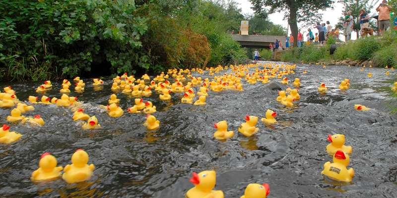 Thousands of ducks on their way to the finish line!