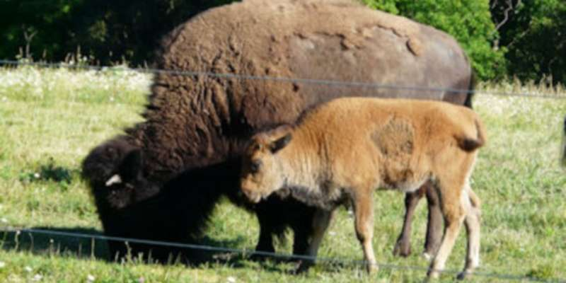 S Lazy D Ranch is offering tours on Saturday, June 25, from noon to 4 p.m. Visitors will be able to see this year's bison calves, as well as educational exhibits.