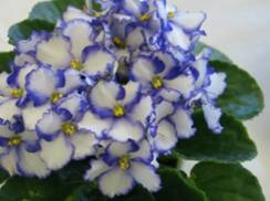 Image for Wisconsin Council of African Violet Clubs Show/Sale