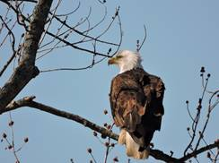 Image for Bald Eagle Watching Day