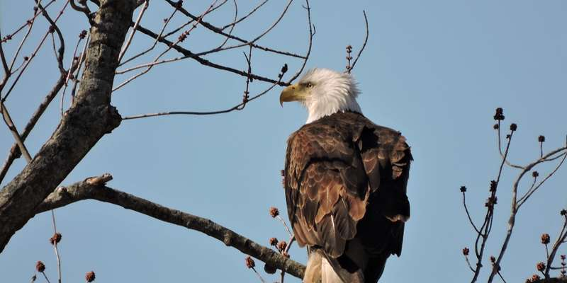 Bald Eagle - Ferryville, WI, Mississippi River