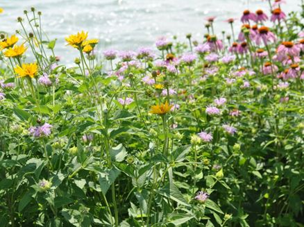 Image for Horicon Marsh Wildflowers for Wildlife Event