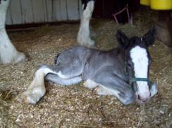 Image for Birth of a Baby Clydesdale