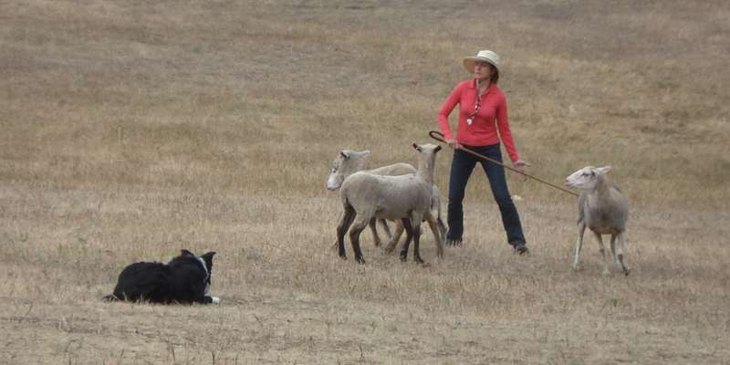 Separating sheep under the watchful eye of a Border Collie and handler Claudia Mahon