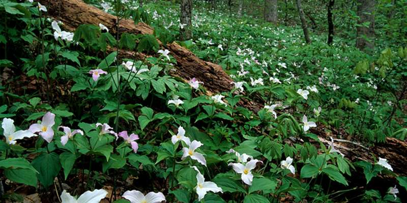 Large Flowering Trillium