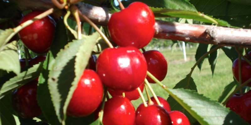 Apple Hill Cherries