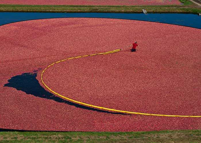 A man working in a cranberry bog