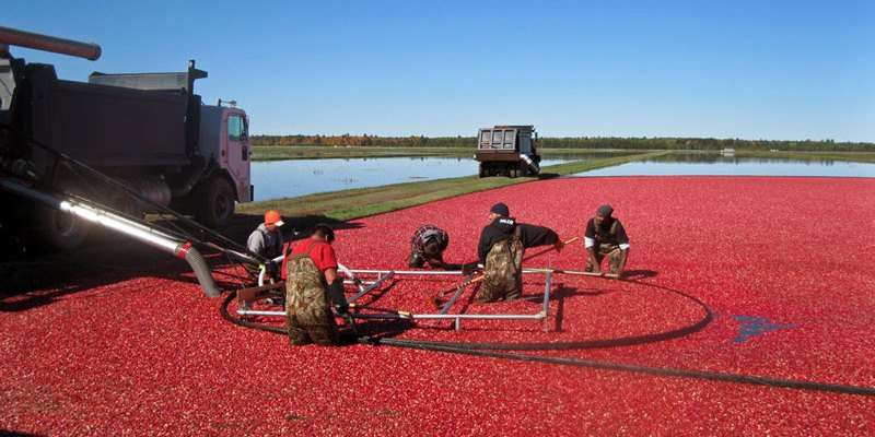 Lake Nokomis Cranberries
