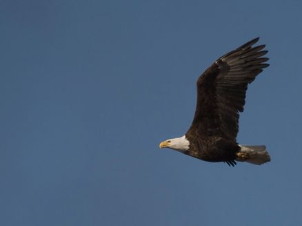 Image for Bald Eagle Watching