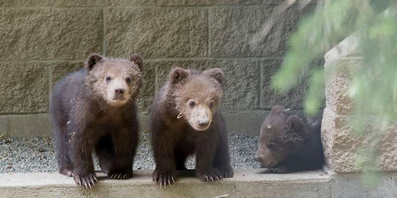 Munsey & Boda, twin Kodiak bear cubs from Alaska