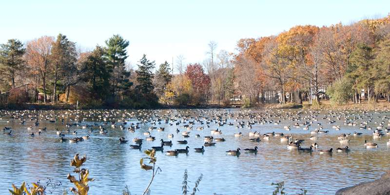 Canadian geese visit during their migratory journeys North & South each year.