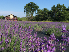 Image for The Island Lavender Company