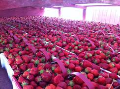 Image for Thompson Strawberry Farm