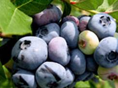 Image for Rush River Produce U-Pick Blueberry & Currant