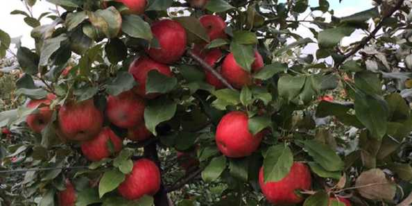 With over 20 varieties of apples in our orchard, ripening over the months of September and October, you're sure to find the taste and texture you love and crave from our selection! Using Integrated Pest Management techniques allows us to grow our apples as naturally as possible.