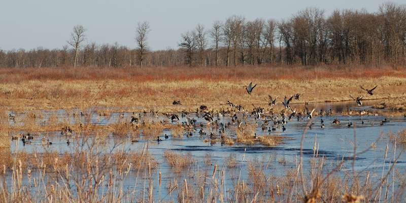 Waterfowl at Crex Meadows Wildlife Area