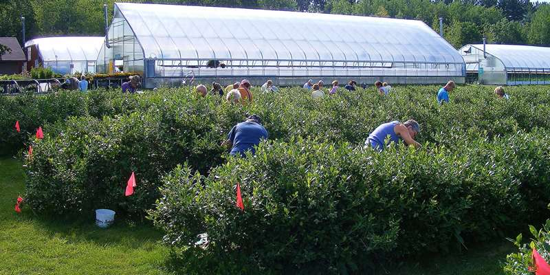 Picking berries at Bashaw Valley