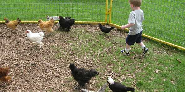 Catching chickens at Mulberry Lane Farm