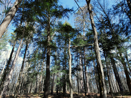 Image for Giant White Pine Grove State Natural Area