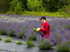 Image for Fragrant Isle Lavender Farm & Shop