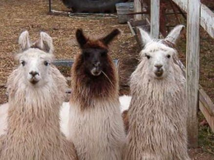 Image for Bahr Creek Llamas & Fiber Shop
