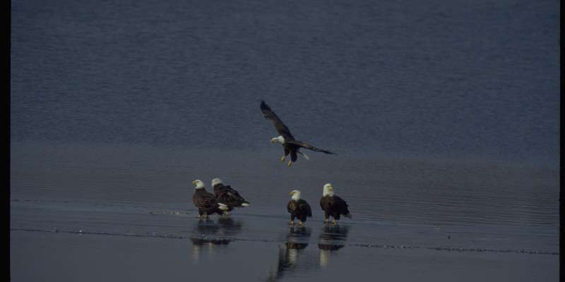 Five Bald Eagles along the Wisconsin River