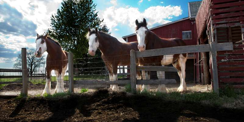 You can visit our beautiful Clydesdale horses at the farm or enjoy a horse-drawn carriage ride in Columbus, Wisconsin.