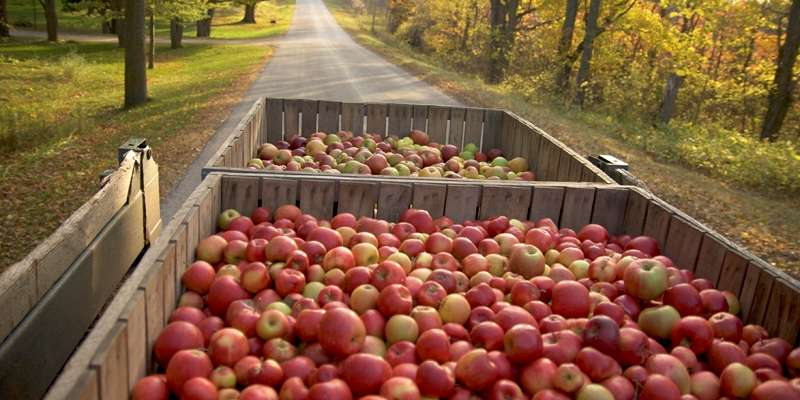 Harvested Island Orchard Cider Apples. Photo courtesy of Leo Purman.