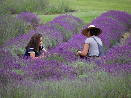 Image for Rowley Creek Lavender Farm