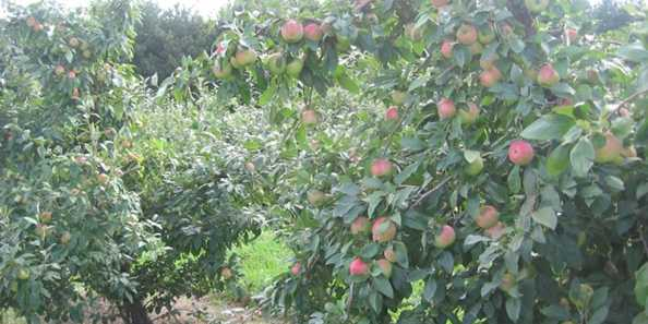 Zestar apple trees