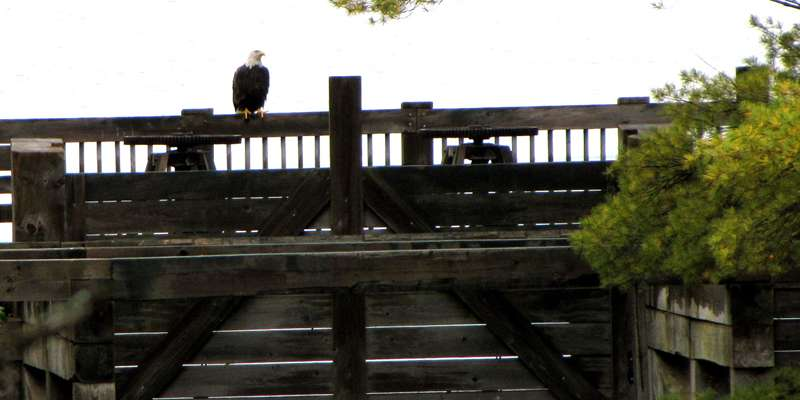 Bald Eagle at Round Lake Logging Dam