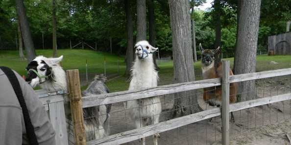 Llama's are very soft and lanolin free. Feel free to pet.